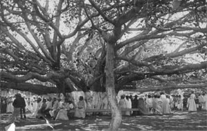 The Lahaina Banyan Tree in 1908