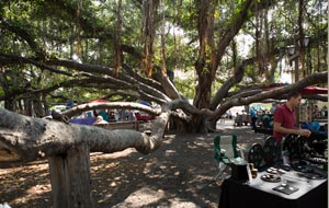 The Lahaina Banyan Tree in recent years.