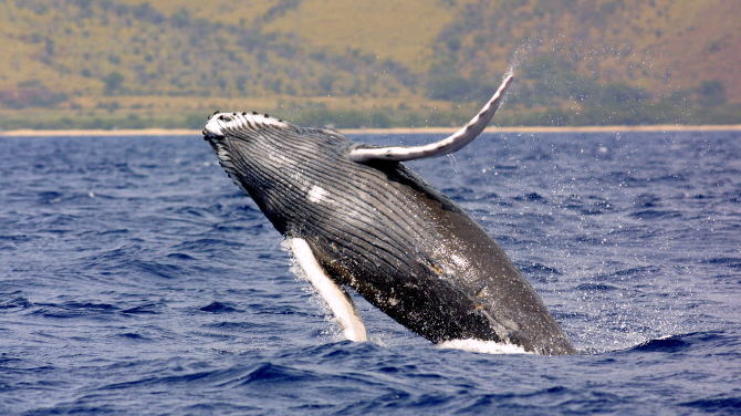 Humpback Whale breach at Lahaina